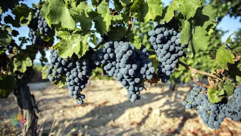 bozcacada Şarap Fabrikaları